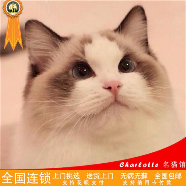 双色布偶猫蓝眼双色满耳满背CFA认证五代可查可上门