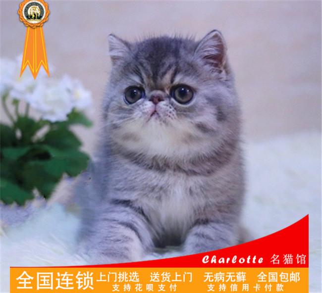 出售纯种CFA血统加菲猫宠物异国短毛猫幼猫幼崽活体黄白梵文