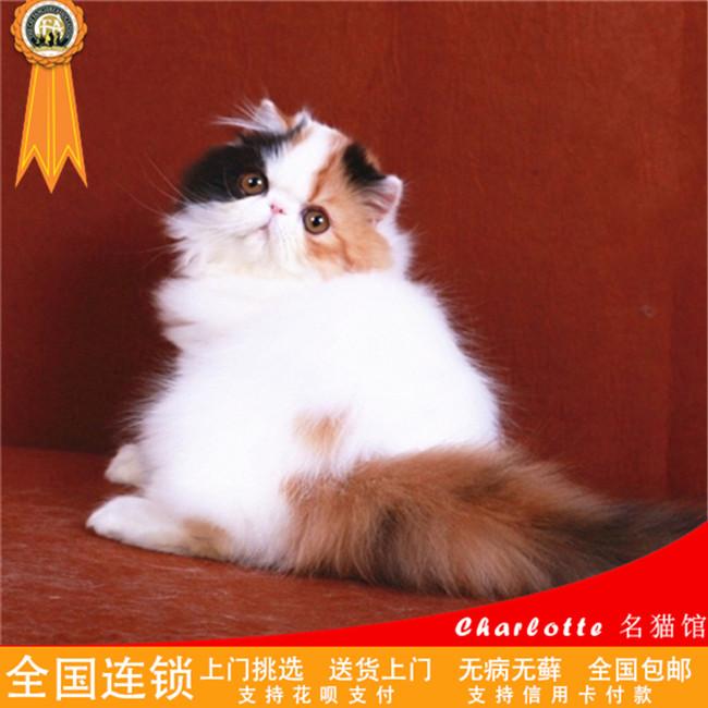 波斯猫纯白长毛活体幼猫纯白长毛加菲猫活体纯种纯白加菲猫布偶