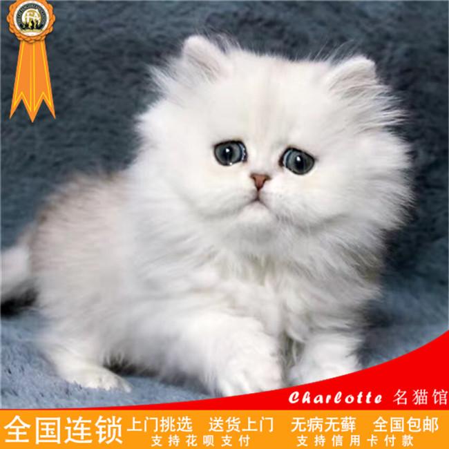 cfa蓝眼海豹双色布偶猫金吉拉长毛猫美短加白折耳立耳