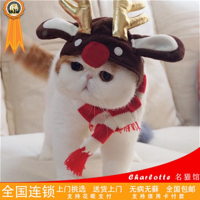 出售加菲幼猫活体纯种加菲幼崽可爱迷你型宠物猫寻爱心主人