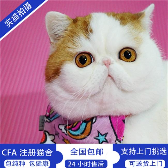 出售异国短毛猫加菲黄虎斑色活体宠物幼崽弟弟家养纯种
