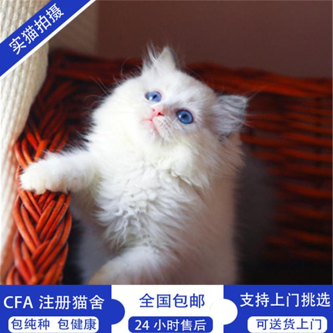 布偶猫活体纯种健康无病无藓双色蓝眼无病无藓满耳满背