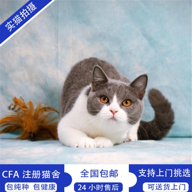 纯种英国短毛猫英短蓝猫幼猫活体宠物猫家养灰色蓝猫小猫咪出售