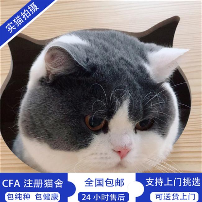 英短蓝猫活体蓝猫幼猫宠物猫家养蓝猫纯种蓝猫幼猫蓝白猫小猫咪