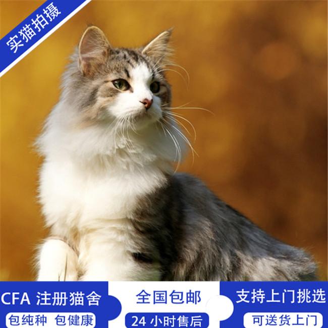 出售缅因猫活体幼猫银虎斑宠物猫包纯种健康疫苗齐全可视频挑选