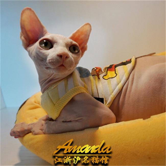 长毛海豹双色布偶猫金色金吉拉无毛猫活体异短加菲猫3