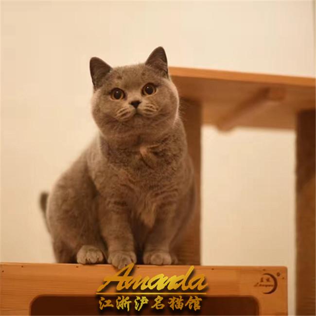 出售英短蓝猫幼猫宠物猫纯种活体宠物猫英国短毛猫家养小猫咪公