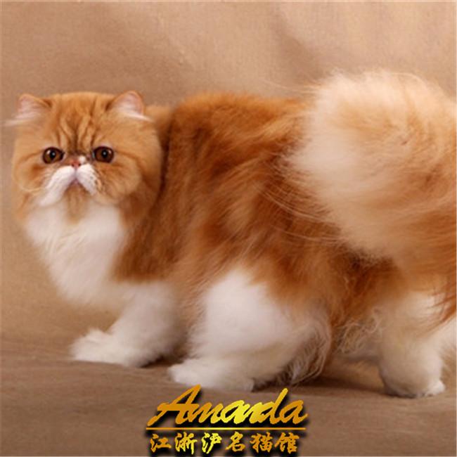 出售波斯大爆猫波斯猫出售黄白波斯猫幼猫幼崽