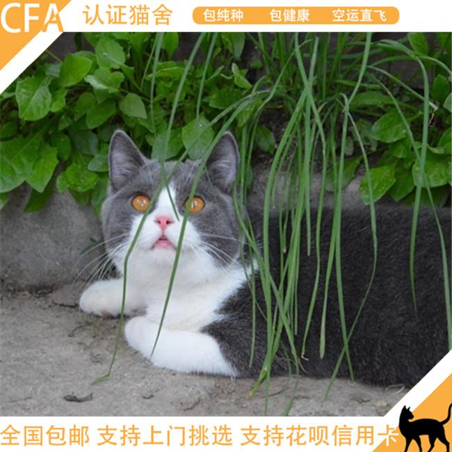 英短蓝猫活体纯种宠物猫幼猫纯蓝色小猫咪家养折耳猫包子脸小奶