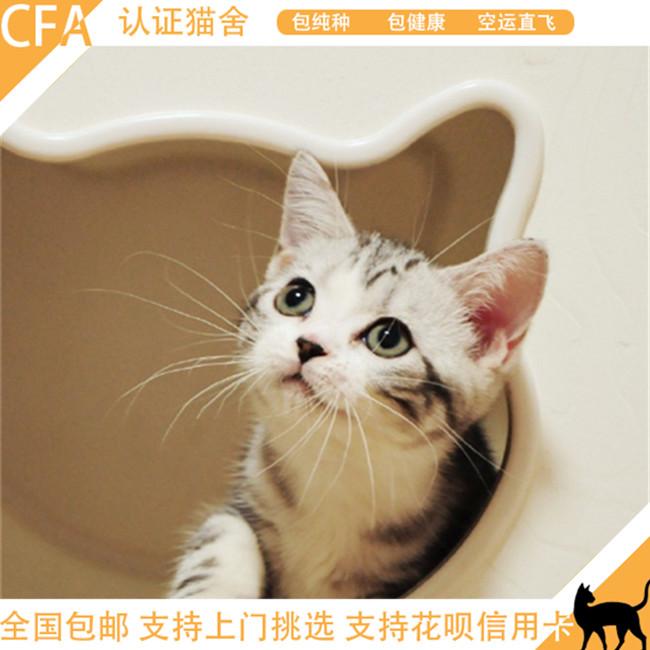 家养美国短毛猫加白美短活体纯种虎斑幼猫猫舍繁殖健康可上门包