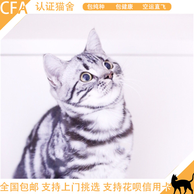 美国短毛猫纯种活体标准银虎斑棕虎斑美短公母幼猫活体纯种美短