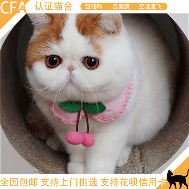 加菲猫活体异国短毛猫纯种家养加菲猫幼崽公母均有健康出售