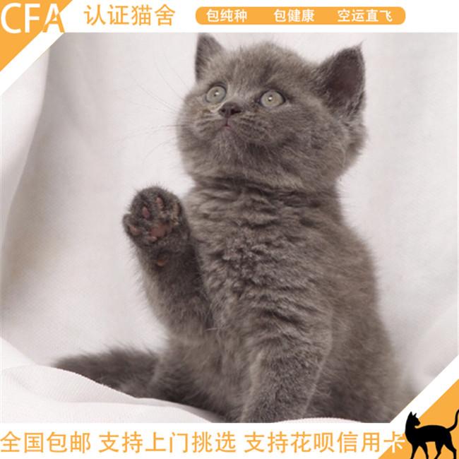 英国短毛猫蓝猫活体幼猫纯种英短幼崽猫猫家养小猫咪包健康有证
