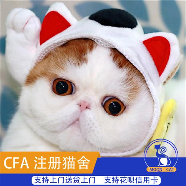 精品加菲猫纯种异国短毛猫宠物猫活体幼崽自家猫舍繁育包邮可上