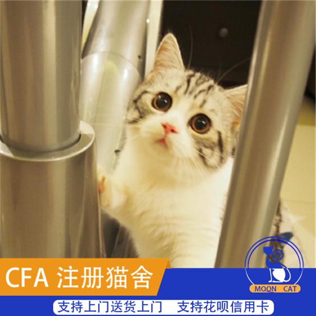 出售自家繁育纯种美国短毛猫美短银虎斑加白幼猫宠物猫咪活体美