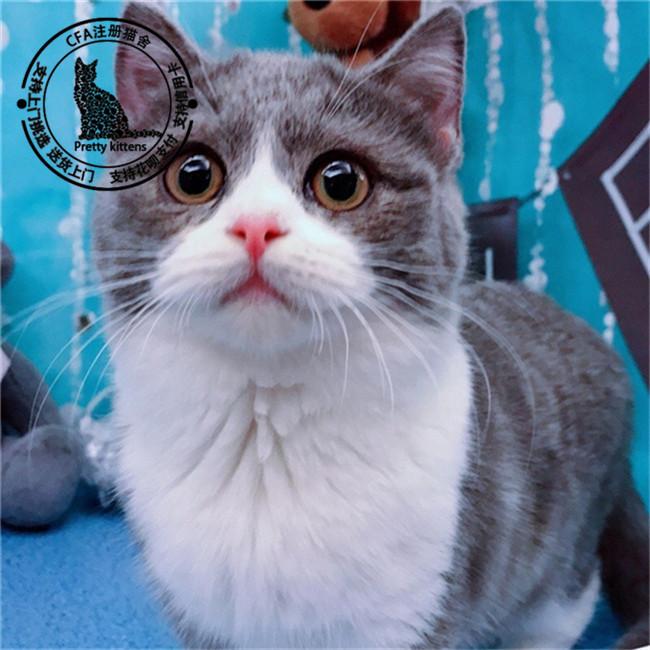小蓝猫宠物活体英国短毛猫幼猫纯种家养小猫咪纯蓝色迷你大脸猫