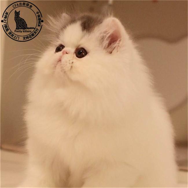 纯白波斯猫幼猫出售黄白波斯猫宠物猫活体幼崽出售