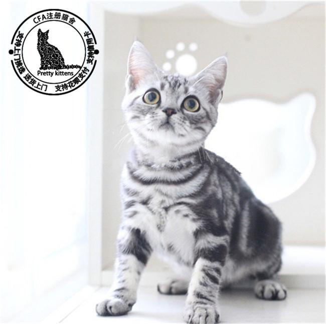 美短银虎斑宠物猫活体美短幼猫出售家养繁殖纯种美国短毛猫