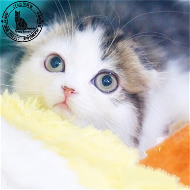 家养宠物猫出售折耳幼猫折耳活体猫折耳猫出售猫咪活体