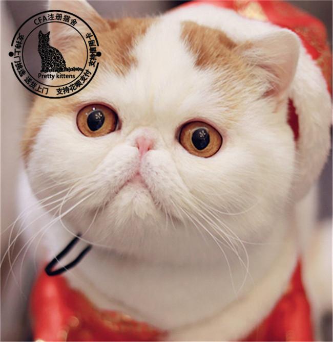 宠物猫活体幼崽异国短毛猫活体纯种家养红白纯白加菲体红虎斑加