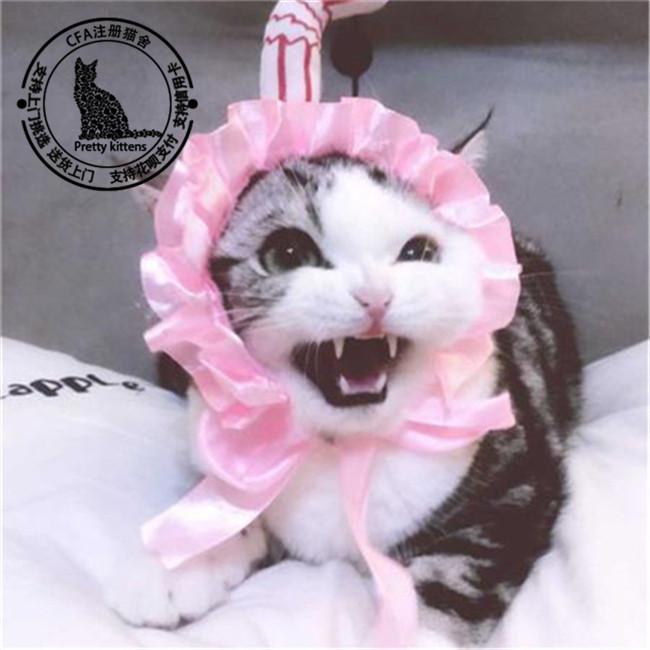 家养美短虎斑纯种美国短毛猫标斑银虎斑猫矮脚美短标斑加白起司