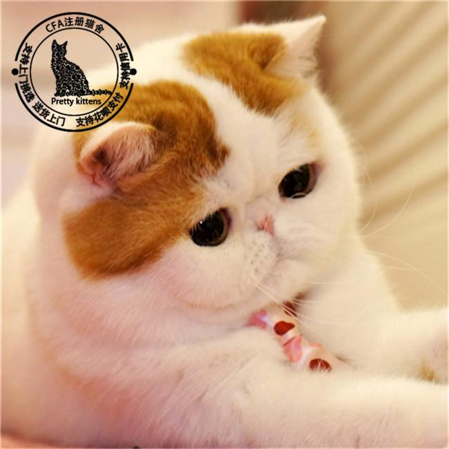 加菲猫纯种宠物猫活体幼崽异国短毛猫水滴眼蓝猫布偶猫宠物猫活