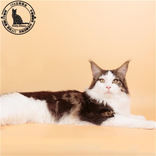 进口巨型缅因猫缅因猫活体幼猫银虎斑wcf缅因宠物猫