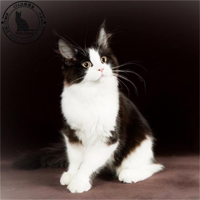 缅因猫活体幼猫纯种宠物猫棕银虎斑缅因库恩猫活体烟灰色巨型低