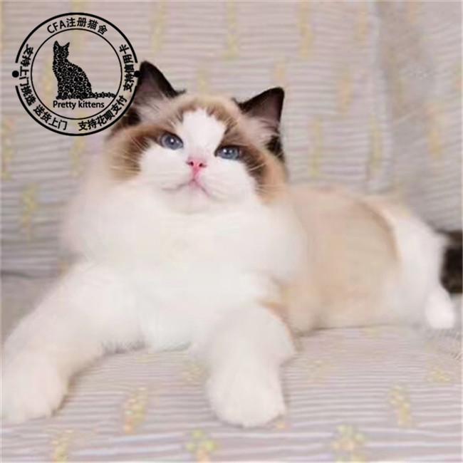 超温顺布偶猫仙女猫无病无藓满耳满背纯种健康Cfa认证猫舍