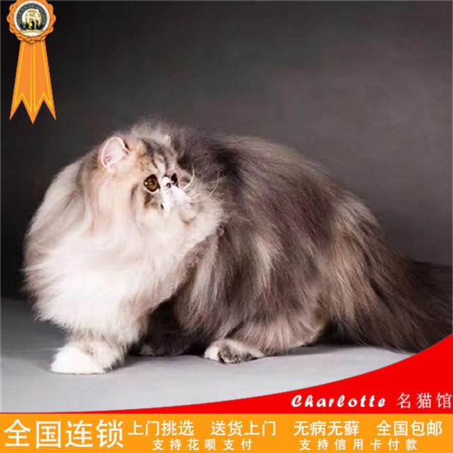 CFA纯种波斯猫纯种波斯猫猫波斯猫宠物纯种宠物活体幼猫