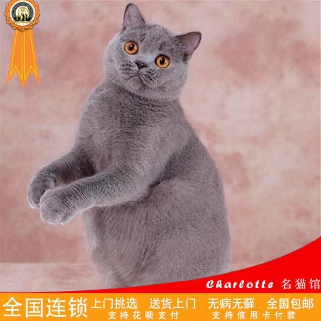 宠物猫活体纯种英国短毛猫英短蓝猫幼猫活体宠物猫家养小猫咪出