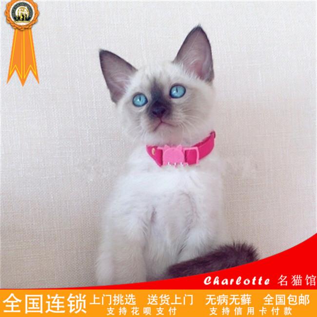 出售泰国海豹暹罗猫咪宠物活体幼猫家养繁殖蓝眼睛猫