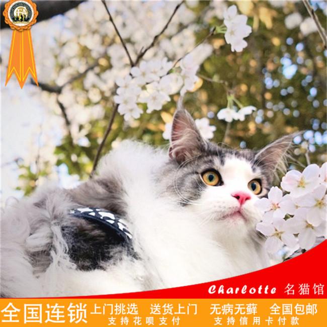 出售缅因猫活体幼猫缅因宠物猫活体出售