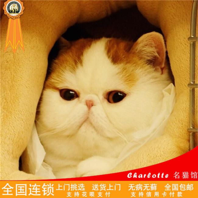 纯种加菲猫异国短毛猫幼猫出售活体宠物猫咪幼崽白色异短加菲