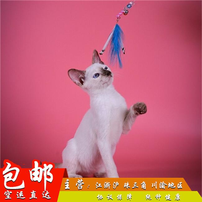 宠物猫咪活体暹罗猫纯种暹罗猫蓝眼睛小猫咪活体幼崽幼猫活体