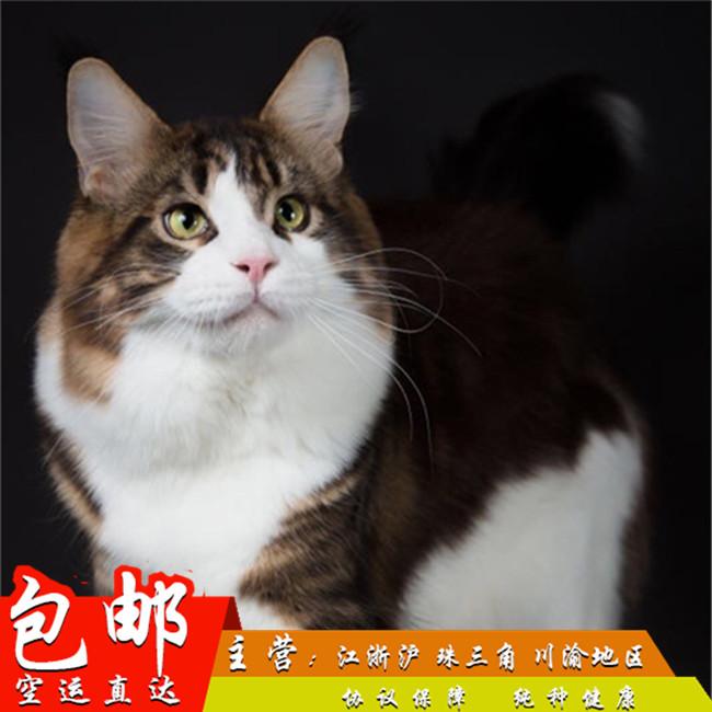 大体型缅因猫出售公母均有带证引进WCF血统猫繁育级别猫咪