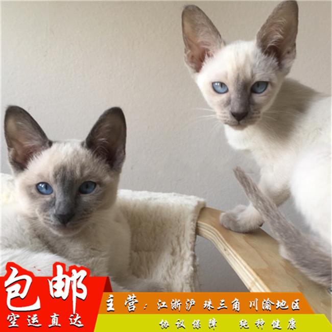 泰国暹罗猫活体纯种宠物短毛猫蓝眼挖煤工重点海豹暹罗公母猫幼