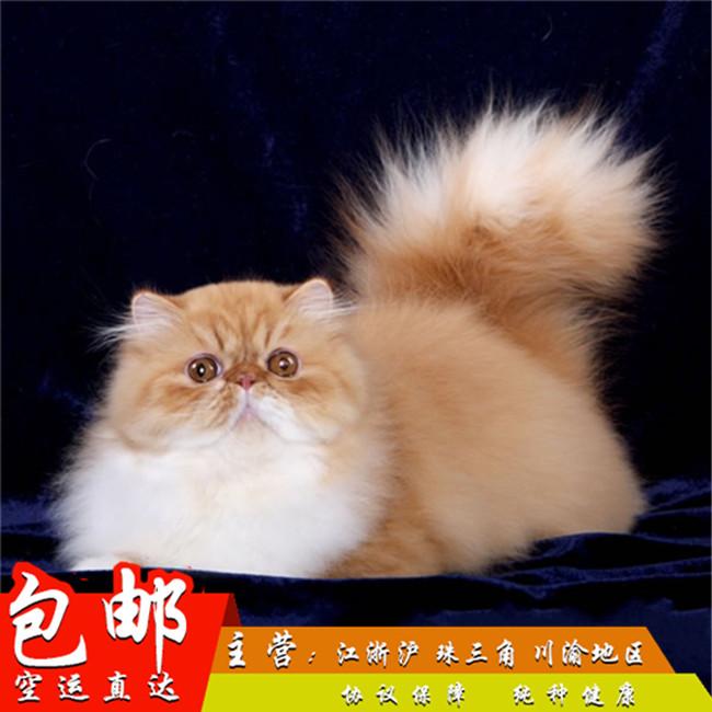 宠物猫波斯猫活体幼猫异国短毛猫纯种纯白波斯长毛加菲猫