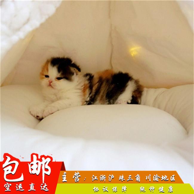 出售苏格兰折耳猫幼猫疫苗驱虫做完出售活体猫幼猫折耳猫