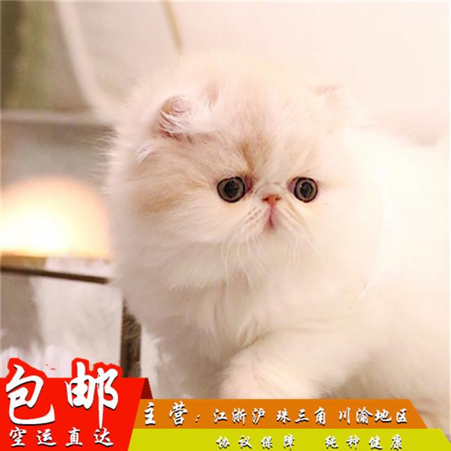异国短毛加菲猫活体宠物幼崽纯种包子脸红小胖净梵出售包邮