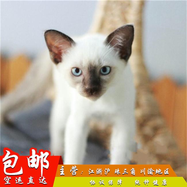 预售宠物猫活体喵泰国暹罗猫挖煤猫家养宠物幼猫蓝重点色暹罗幼