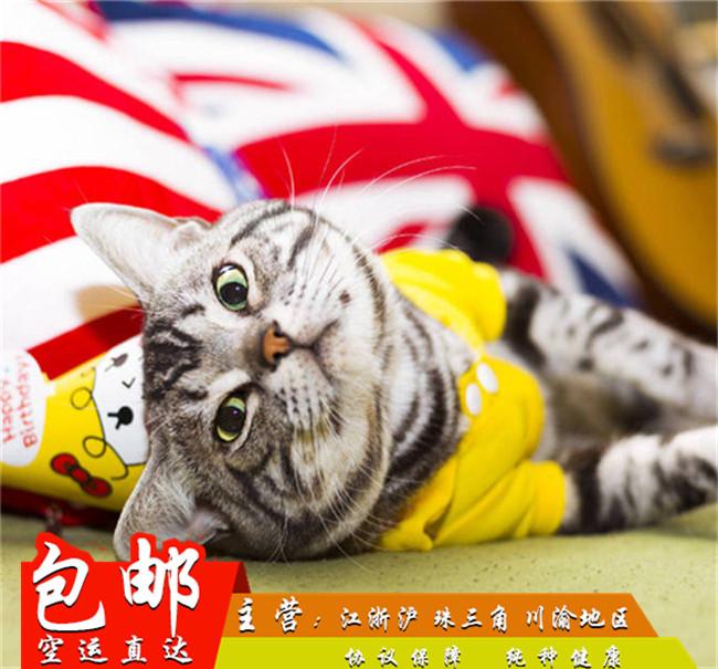 美短加白宠物猫美国短毛猫银虎斑起司猫活体幼猫纯种家养美短折