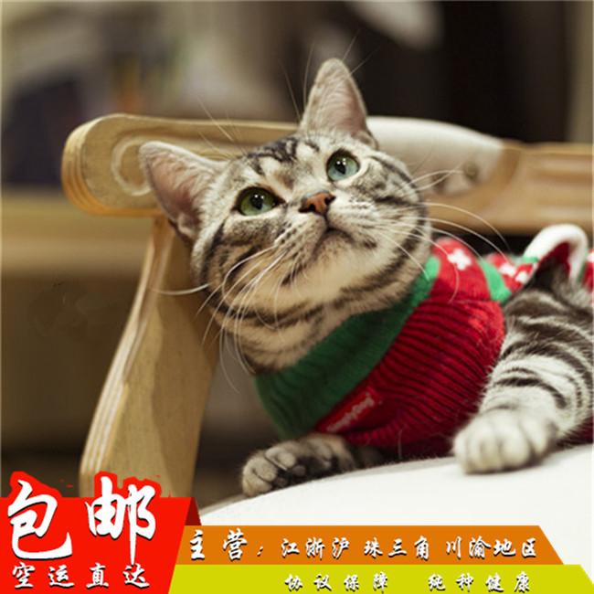 美国短毛猫美短虎斑猫猫咪活体纯种幼猫起司猫美短猫银虎斑棕虎