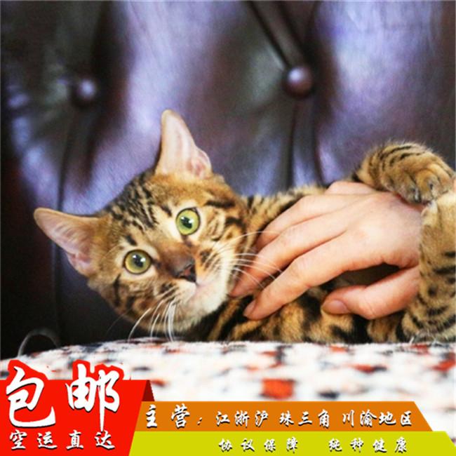 明星同款孟加拉豹猫宠物猫活体豹猫幼猫亚豹猫虎斑猫咪豹猫