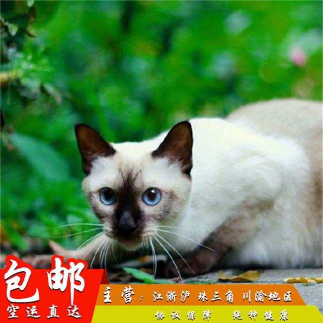 泰国暹罗猫活体幼猫纯种淡紫色挖煤工蓝眼睛宠物小猫咪家养迷你