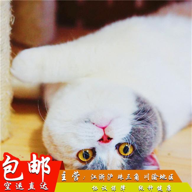 英短蓝猫活体纯种幼猫大眼睛猫大包子脸猫折耳蓝猫家养小猫咪家