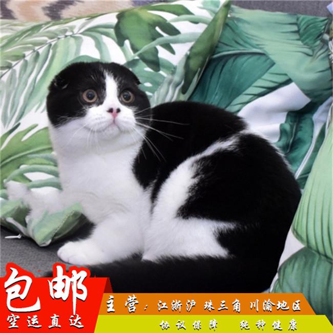折耳宠物猫活体美国短毛猫起司猫虎斑加白苏格兰折耳幼猫渐层