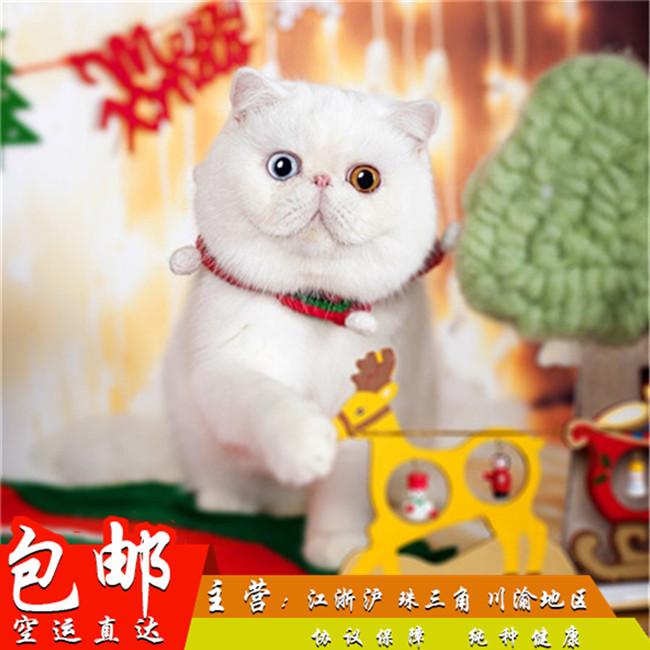 波斯猫活体黄白双色幼猫出售纯种异国长毛猫加菲猫幼崽
