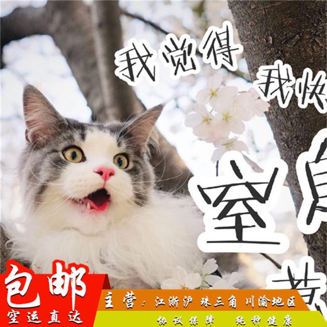 缅因猫活体幼猫纯种宠物猫棕银虎斑缅因库恩猫活体烟灰色巨型